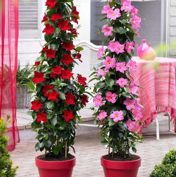 Dipladenia zwei rote Töpfe auf der Terrasse Blüten in Rot und Rosa schöner Anblick
