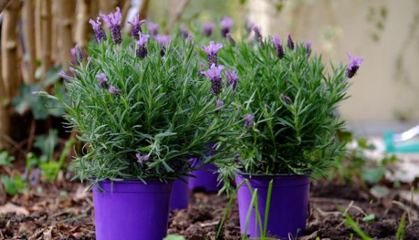 Kleine Eimer mit Lavendel Lavendel Pflanzen