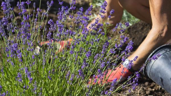 Lavendel Pflanzen Eimer und Erde