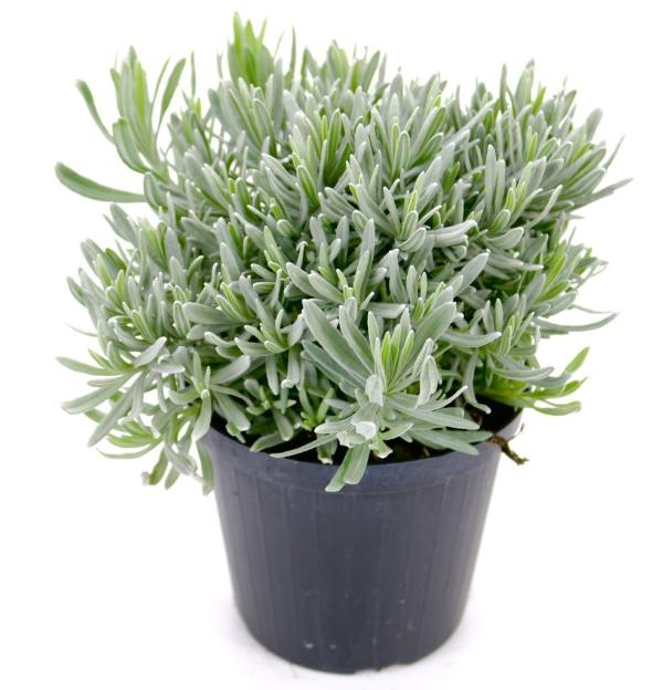Lavendel Pflanzen - kleiner Pflanzentopf mit Lavendel