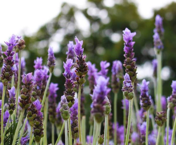 Lavendel Pflanzen - sehr schöne Pflanzen Ideen