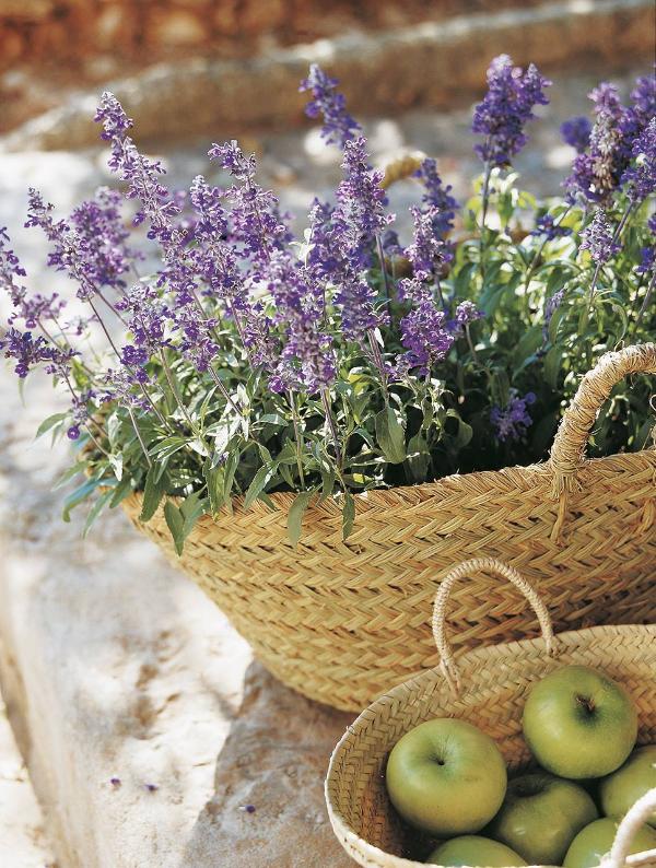 Lavendel Pflanzen und mit Äpfeln kombinieren