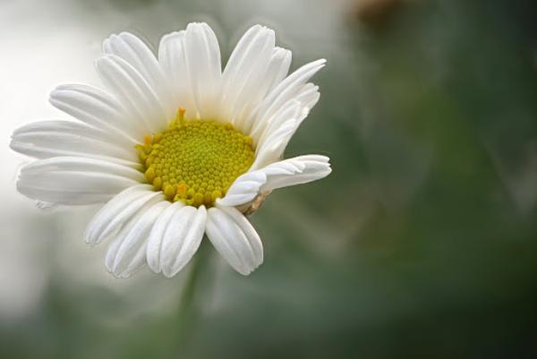 Margeriten attraktiv für Bienen weiße Blütenblätter gelbe Mitte viel Nahrung Pollen und Nektar sammeln