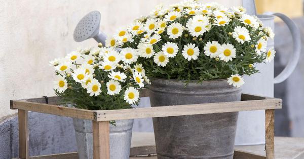 Margeriten beliebte Wiesen-und Gartenblumen in Zinkeimern gedeihen gute kulinarische und medizinische Eigenschaften