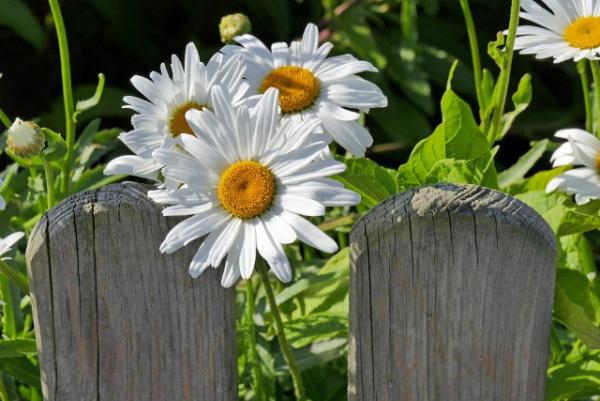 Margeriten beliebte Wiesen-und Gartenblumen weiße Blütenblätter um gelbe Mitte angeordnet