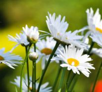 5 Fakten über die Margeriten, die Sie vielleicht noch nicht kennen