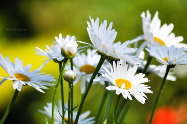 Margeriten draußen Dauerbrenner in unseren Gärten weiße Blüten