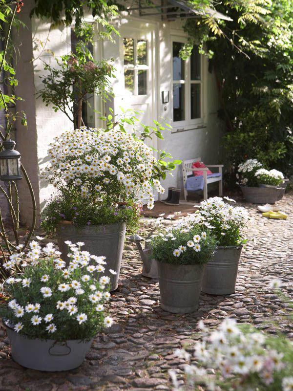 Margeriten draußen nicht im Blumenbeet in alten Zinkeimern