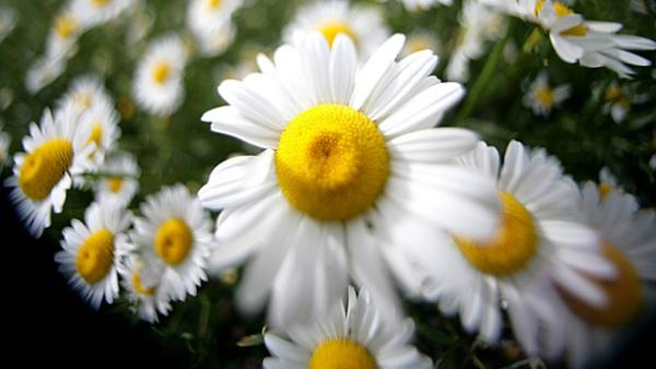 Margeriten hübsche Korbblütler gute Anpassungsfähigkeit an unterschiedliche Klimabedingungen