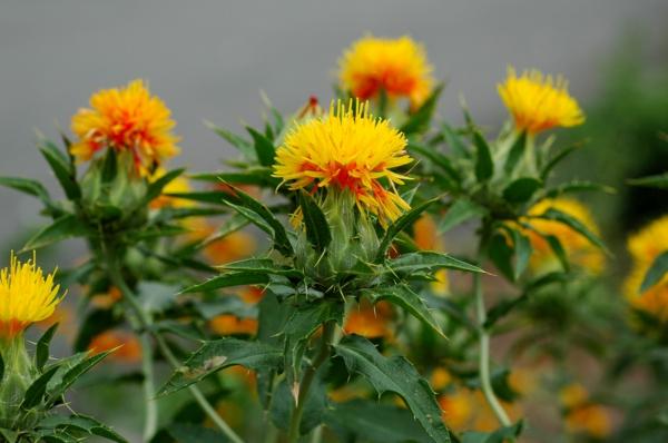 Saflorpflanze gelb orange Blüten Distelöl