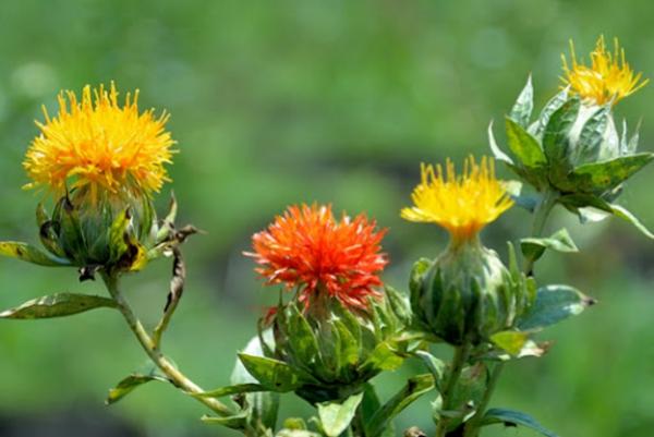 Saflorpflanze gelb orange Blüten Distelöl Gesundheit