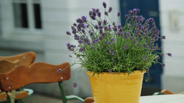 Schöne Idee für den Garten Lavendel Pflanzen