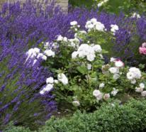 Lavendel pflanzen zu Hause und im Garten: Was nützt es und was muss man dazu wissen?