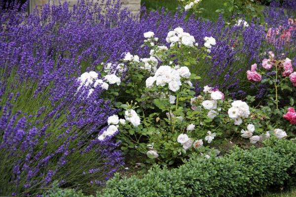 Zusammen mit anderen Pflanzen Lavendel Pflanzen
