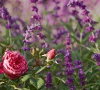 Was passt zu Rosen – die besten Rosenbegleiter in Ihrem Garten