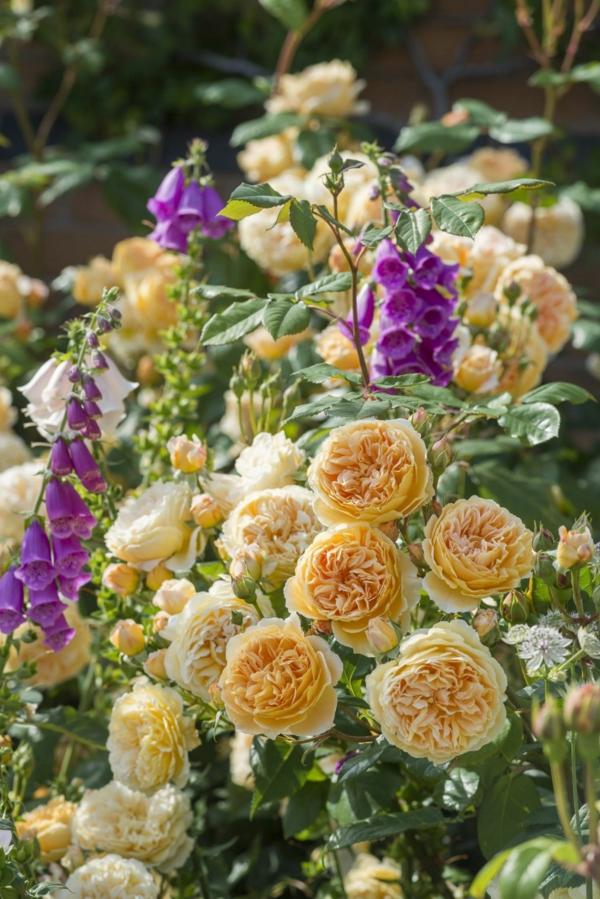 englische rosen kombinieren mit fingerhüten