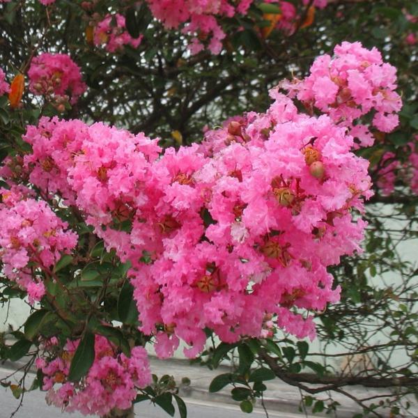 flieder des südens blüten