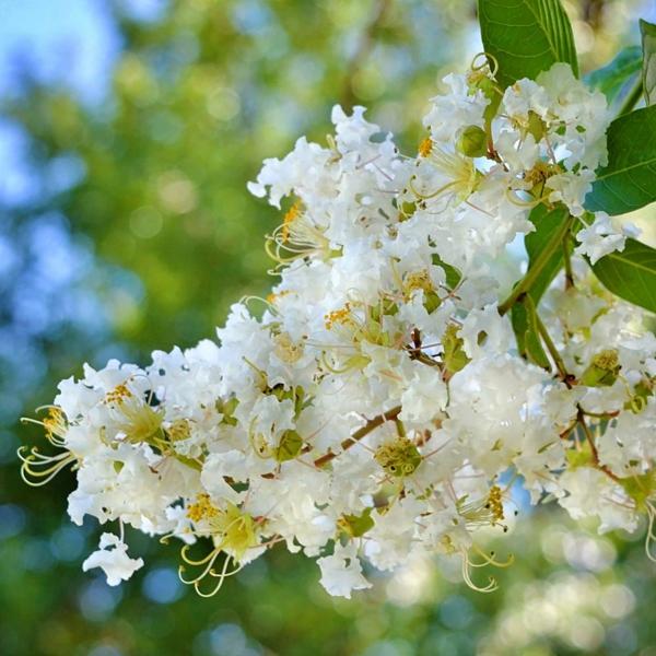 flieder des südens weiße blüte