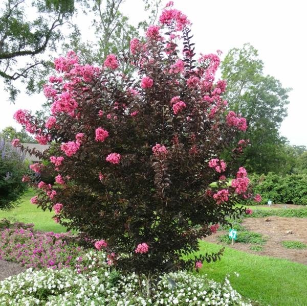 gartenbaum flieder des südens