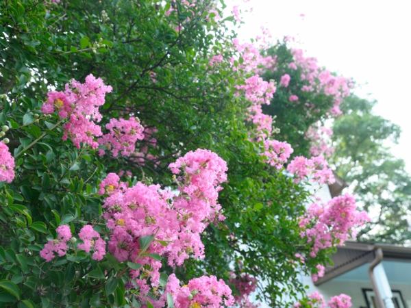 gartenpflanze flieder des südens