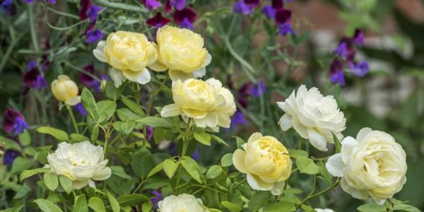 gelbe rosen mit stauden kombinieren
