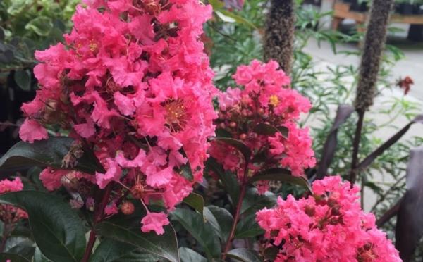 lagerstroemia flieder des südens rosa blüten