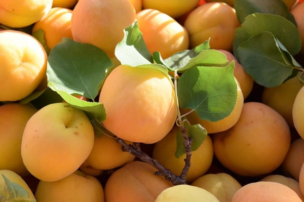 leckere aprikosen gesunde ernährung