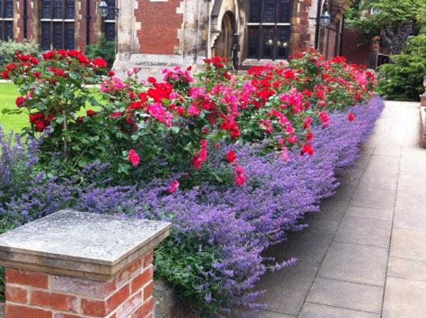 rosen kombinieren lavender staudenpflanzen