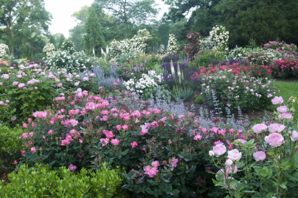 rosen rosenbegleiter stauden