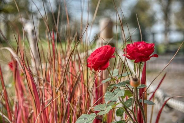 rote rosen und ziergrläser kombinieren