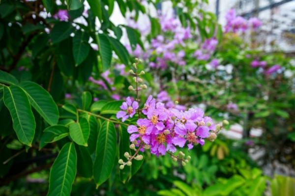 schöne blüte flieder des südens