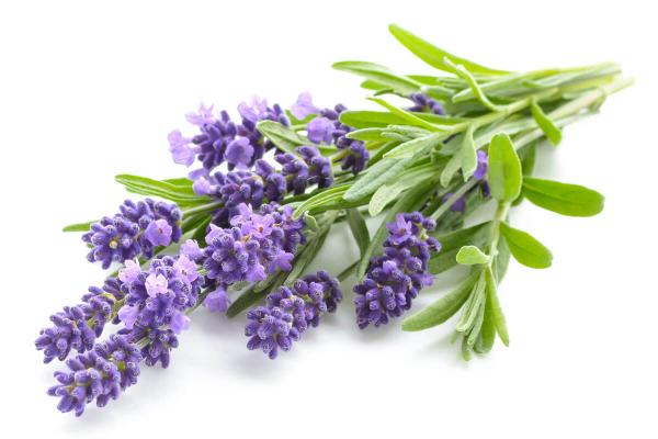 tolle Sträucher - Lavendel Pflanzen