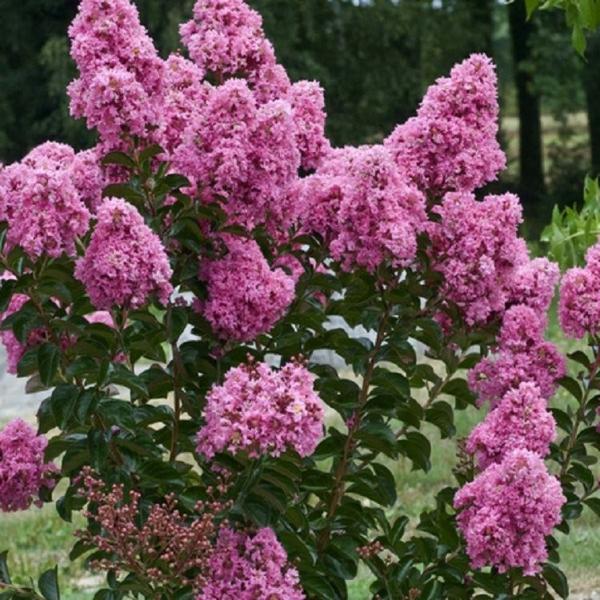 violette blüten flieder des südens