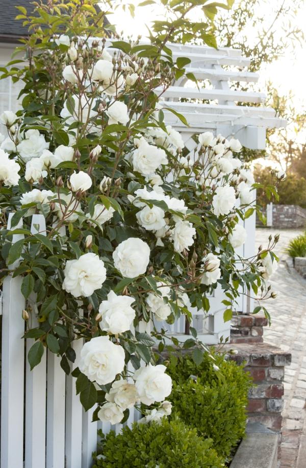 weiße kletterrosen buchsbaum rosenbegleiter