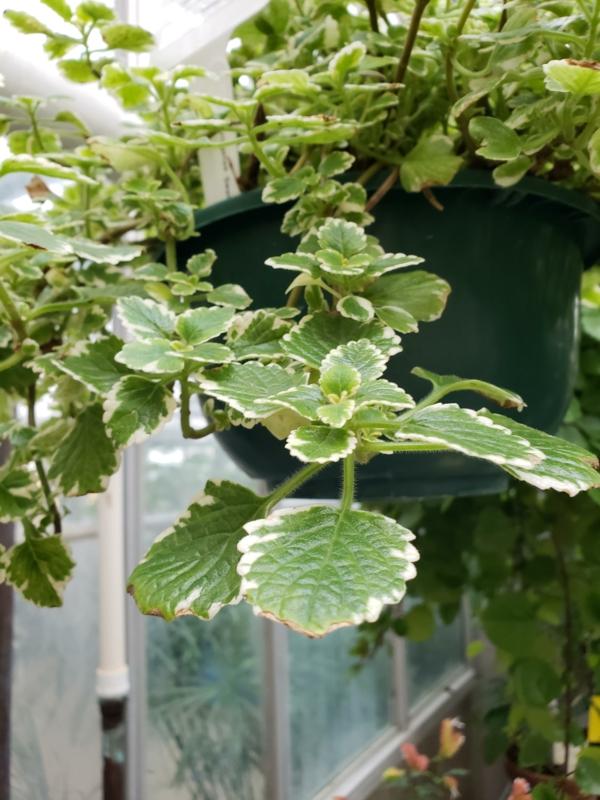 weihrauch pflanze blumenampel