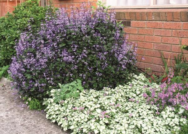 weihrauch pflanze blumenbeet gartengestaltung