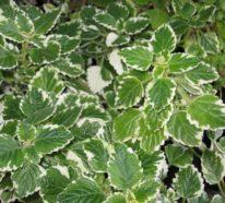 Die Weihrauch Pflanze  – eine pflegeleichte, duftende Schönheit für Haus und Garten
