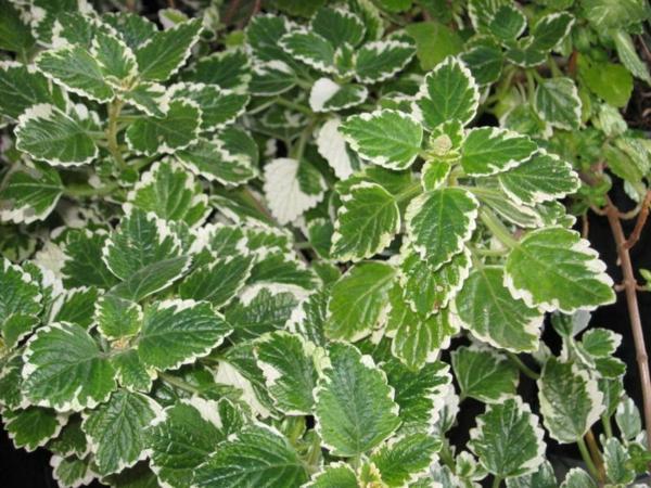 weihrauch pflanze grüne blätter weißer rand