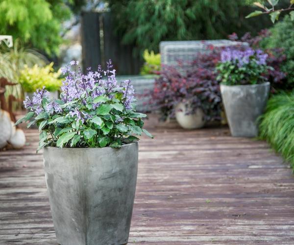 weihrauch pflanze lila blüten plectranthus mona lavender