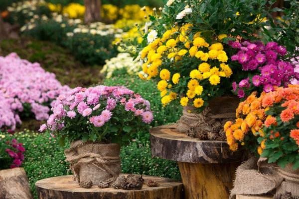 Gartenblumen für pralle Sonne Chrysanthemen im Topf in allen erdenklichen Farben schönes Blütenmeer