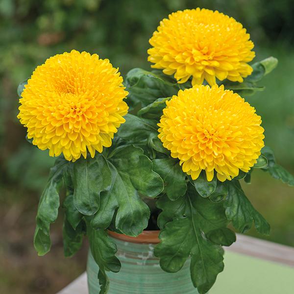 Gartenblumen für pralle Sonne Chrysanthemen im Topf in leuchtendem Gelb am Fenster zuhause