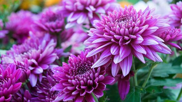 Gartenblumen für pralle Sonne Chrysanthemen in zartem Lila tolle Farbenpracht im Garten