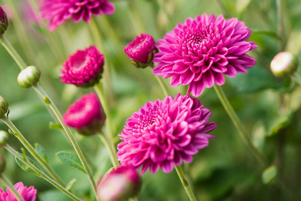 Gartenblumen für pralle Sonne Chrysanthemen in zartem Violett tolle Farbenpracht im Garten