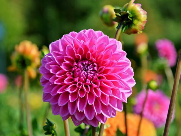 Gartenblumen für pralle Sonne Dahlie im Garten perfekte Blütenform rosa gefärbt