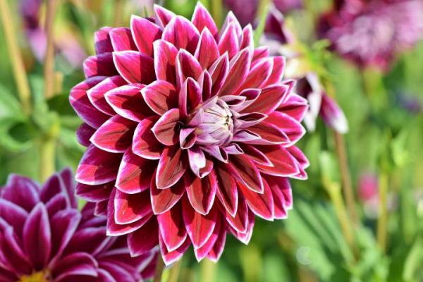 Gartenblumen für pralle Sonne Dahlien schöne Farbe prächtige runde Blüte ein Blickfang draußen