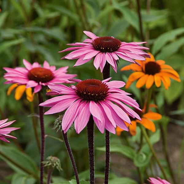 Gartenblumen für pralle Sonne Sonnenhüte im Gartenbeet violette Blüten dunkle Blütenköpfe