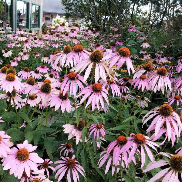 Gartenblumen für pralle Sonne Sonnenhüte im zarten Violett Blütengarten