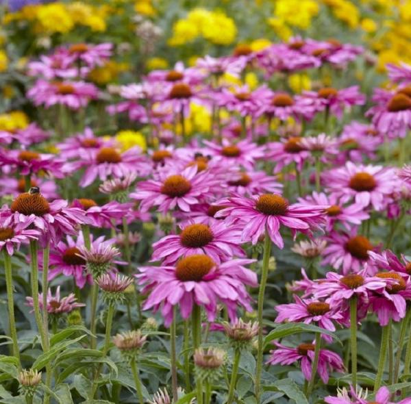 Gartenblumen für pralle Sonne Sonnenhüte verschiedene Farben lila violett gelb bunter Garten