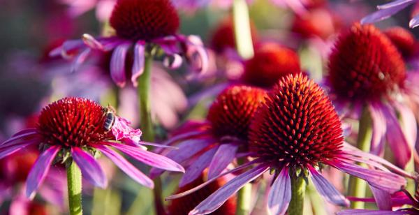Gartenblumen für pralle Sonne Sonnenhut farbenfrohe Blütenköpfe leuchten im Garten richtiger Blickfang