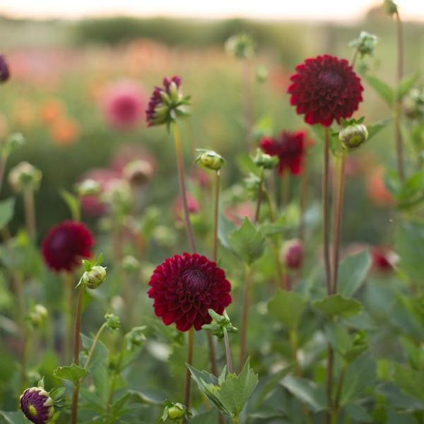 Gartenblumen für pralle Sonne dunkelrote Dahlien im Gartenbeet ein schönes Blütenmeer draußen